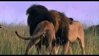 African Cats: Reservoir Cats - Clip