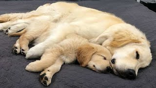 Funniest & Cutest Golden Retriever Puppies #33 - Funny Puppy Videos 2019