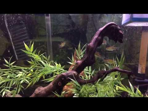 Congo Tetra- My new fish