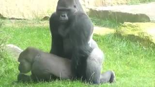 Gorillas Mating at the Zoo so funny