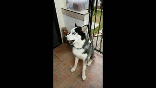 Huskie Dog showing His Talent