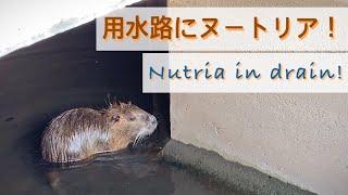 ヌートリアが突然用水路を泳いできた!Nutria Is Swimming In Drain. 5月