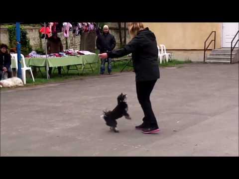 Tücsi dog dancing bemutató