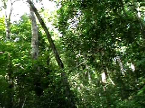 howler monkeys at tikal national park, guatemala