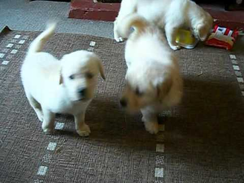 Golden Retriever X Labrador Puppies Ready For New Homes Now