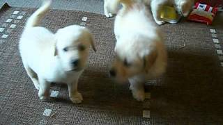 Golden Retriever X Labrador Puppies Ready For New Homes Now Doncaster