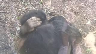チンパンジーのランチ前 Chimpanzees Juveniles LA Zoo Before Lunch ~...