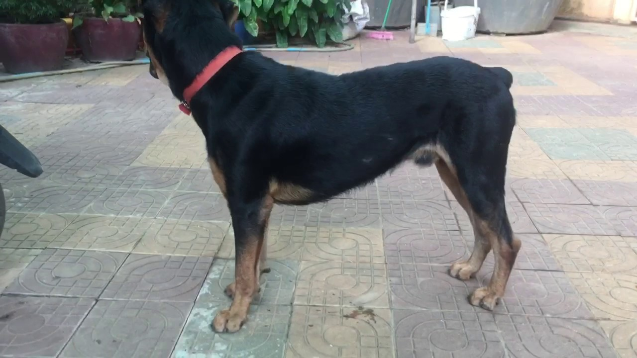 Doberman Mix Rottweiler Male 1 Year 2month Youtube