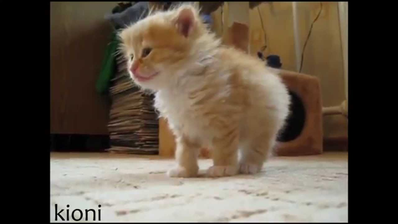 Short And Long Haired Domestic Kittens Youtube