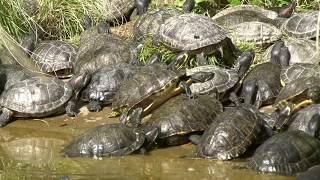 Opération sauvetage des tortues au parc de la Tête d'Or