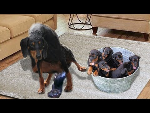 Miniature Pinscher giving birth and feeding puppies- Cute Minpin dog breed