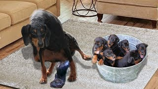 Miniature Pinscher giving birth and feeding puppies Cute Minpin dog breed