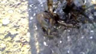 Látóképi Animal Pornó Rákokkal.mp4