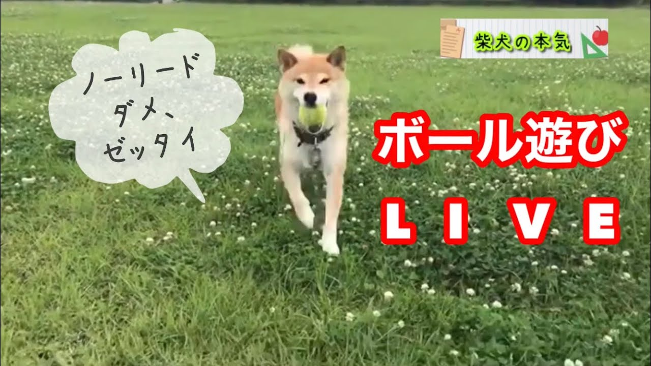 【柴犬】ボール投げライブします( ´ ▽ ` )よろしければどうぞ見て下さい。
