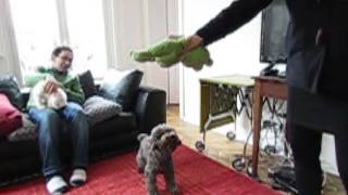 Toy Poodle Jumping (slow Motion Mode)
