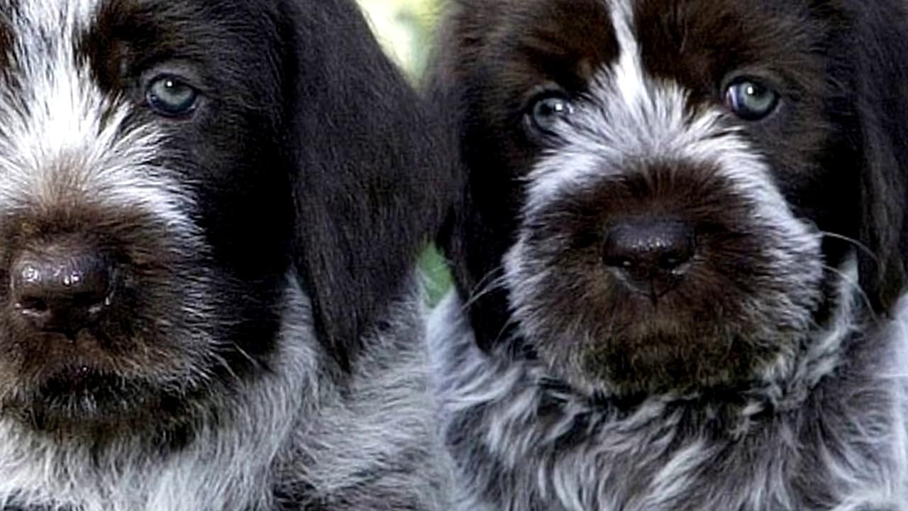 Порода собак. Овернский бракк.  Отличных охотник и следопыт