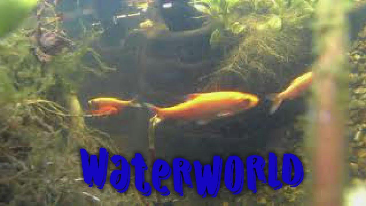 goldfische im teich goldfish in gardenpond 5 youtube. Black Bedroom Furniture Sets. Home Design Ideas