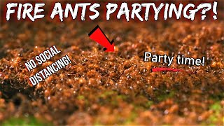 WHY ARE MY FIRE ANTS PARTYING?! | Mystery of the 'Fire Ant Raves'
