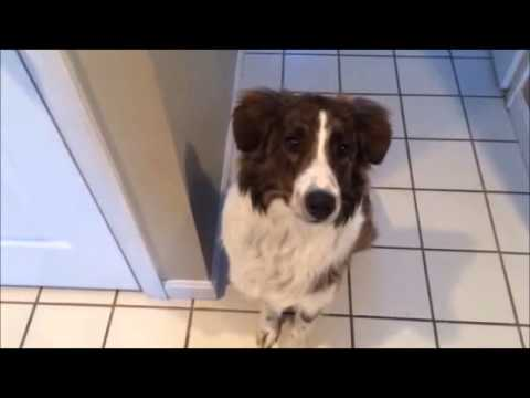 English Shepherd pup works on flanking commands at home