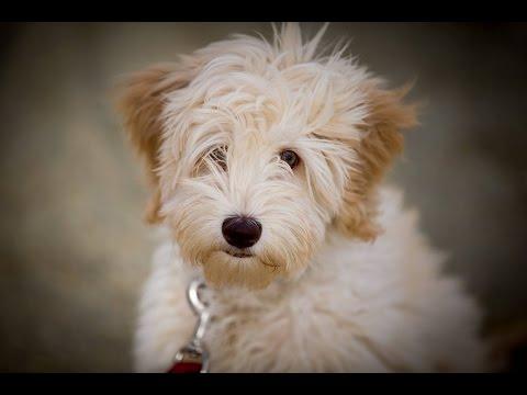 Buddy - Australian Labradoodle Puppy - 3 Weeks Residential Dog Training