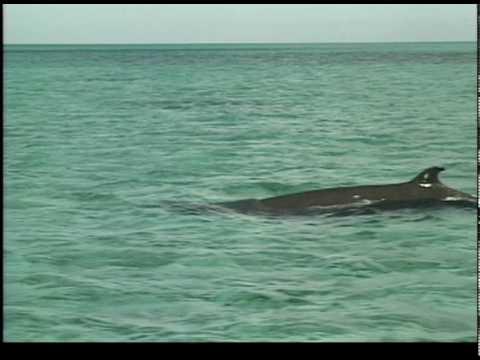 Whale Swimming Alongside Boat_CWR