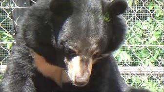 Moon Bear or Asiatic Black Bear