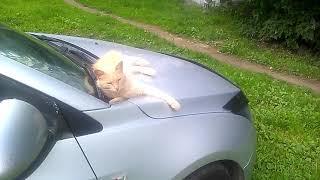 Кошка отдыхает на машине. Интересное видео