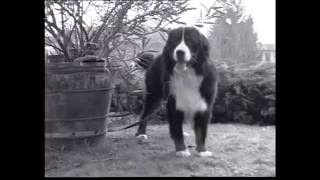 The Swiss Mountain and Cattle Dogs - Pet Dog Documentary English