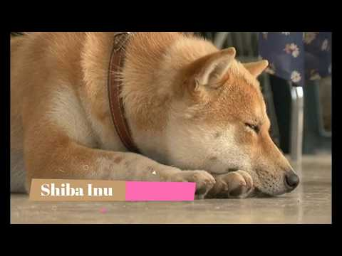Shiba Inu   Top 10 Interesting Facts
