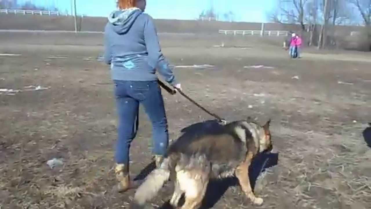 Буш. Собака в добрые руки. Немецкая овчарка - YouTube