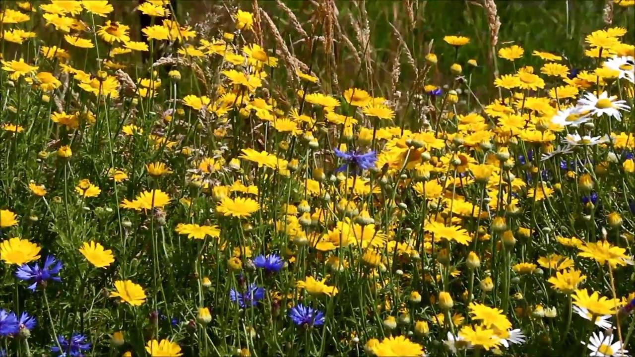 это костяк средняя полоса медоносная трава для пчел фото может