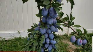 mê ly vườn trái cây siêu nhiều trái-Thành Phố Múôi-Mỹ