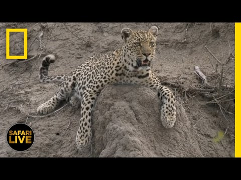 African Safari Live - Day 59