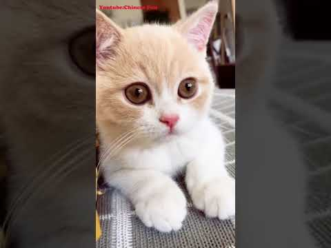 CHINESE FUN Cute Funny Cat Kitten Videos Compilation No.16 2018