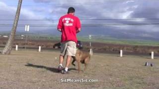 Sit Means Sit Dog Training Hawaii Basic Obedience
