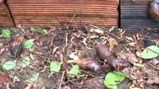 Infestação Caramujo Africano - Achatina fulica