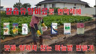 칼슘유황비료로 면역력에 맛과 향까지 잡는 마늘밭 만들기