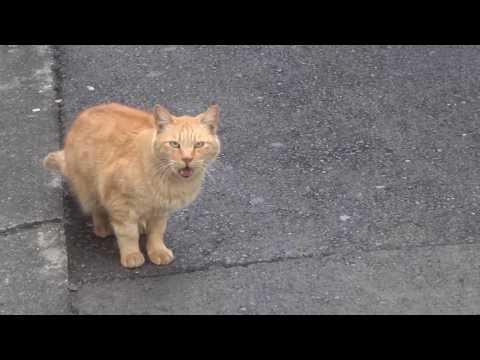 Cat crying : 鳴いている猫