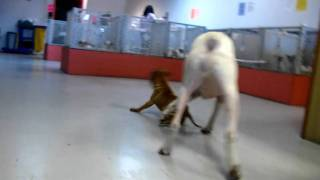 Shar Pei And Boxer Playing 19breeders