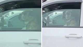 Unimpressed Dog Gives Hilarious Reaction In Car Park