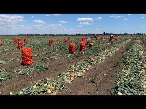 Особенности выращивания лука. Севооборот в КФХ Николая Юзефова. День картофельного поля