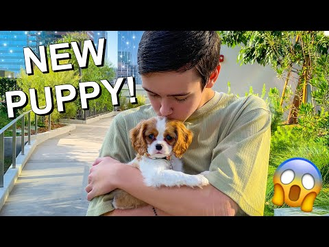 I GOT A DOG! (Cavalier King Charles Spaniel!)