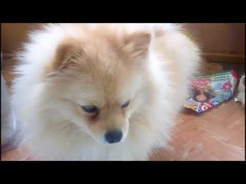 POMERANIAN THE CUTEST DOGS!