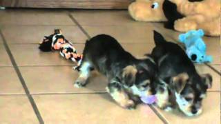 Snorkie Puppies Playing In Iowa Puppies For Sale Snorkie Puppy.mpg