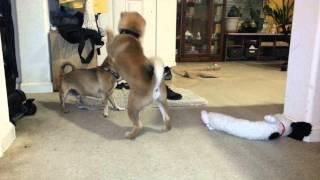 Foxy boxing - Shiba Inu puppy vs adult Chihuahua