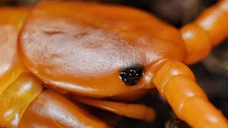 My centipedes. Scolopendra sp.