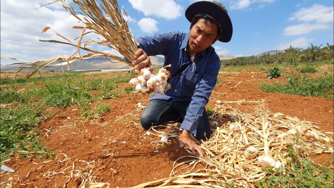 หัวงามๆเนื้อแน่นๆ ต้องเลือกเอาเเบบนี้ครับ เเรงงานไทยในอิสราเอล