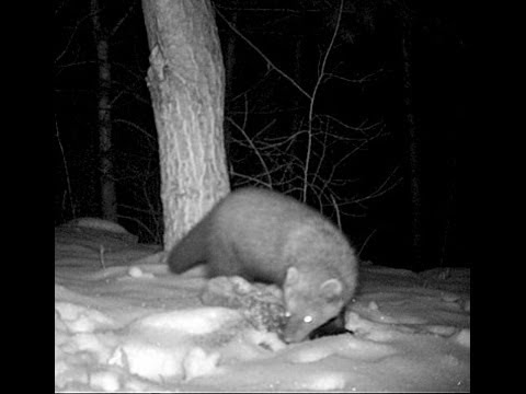 Fisher Cat at night
