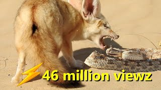 The struggle for survival in the Sahara Desert 'Fennec fox and snake