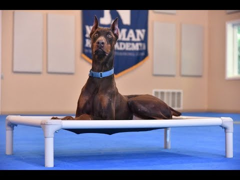 Enzo (Doberman Pinscher) Boot Camp Dog Training Video Demonstration